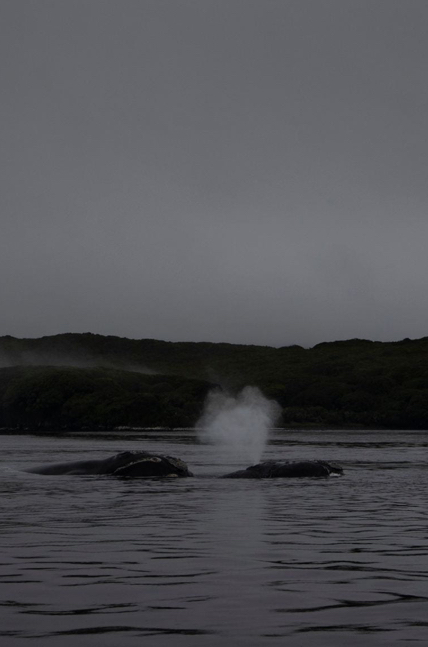 Whales in the mist: coming back to Auckland Islands
